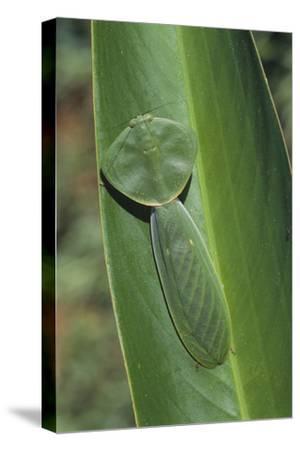 Leaf Mantis Camouflaged on a Leaf