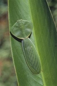 Leaf Mantis Camouflaged on a Leaf by DLILLC