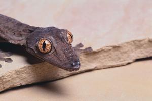 Leaf-Tail Gecko by DLILLC