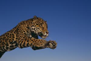 Leaping Jaguar by DLILLC