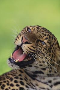 Leopard by DLILLC