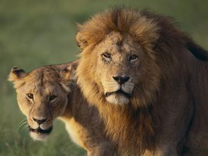 Lion and Lioness by DLILLC
