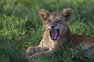 Lion Cub Snarling by DLILLC