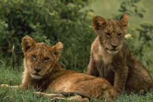 Lion Cubs by DLILLC