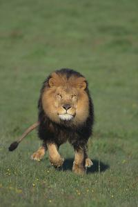 Lion Running in Field by DLILLC