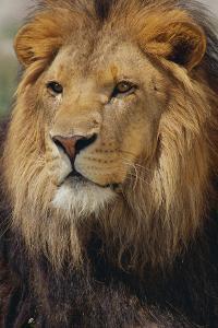 Lion by DLILLC
