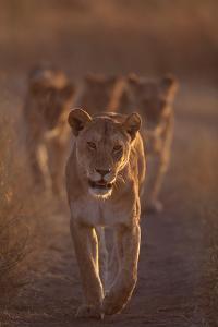 Lioness on Trail by DLILLC