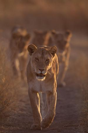 Lioness on Trail