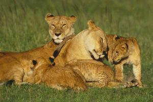 Lionesses with Cubs by DLILLC