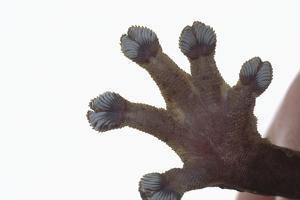 Madagascar Leaf-Tail Gecko Foot by DLILLC
