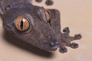Madagascar Leaf-Tail Gecko by DLILLC