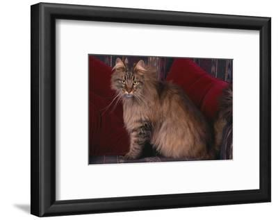 Maine Coon Cat on Chair