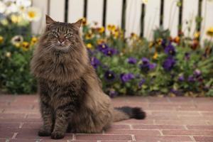Maine Coon Cat on Sidewalk by DLILLC