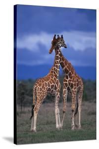 Male Giraffes Necking by DLILLC