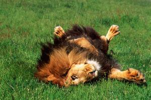 Male Lion Rolling in Grass by DLILLC