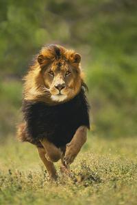 Male Lion Running by DLILLC