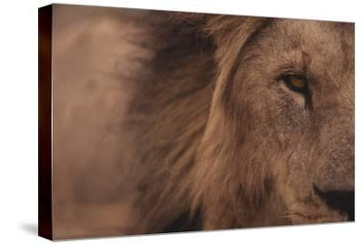 Male Lion Staring Straight Ahead
