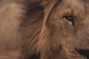 Male Lion Staring Straight Ahead by DLILLC