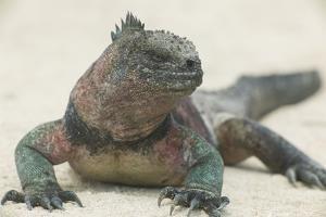 Marine Iguana in the Sand by DLILLC
