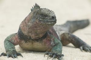 Marine Iguana in the Sand by DLILLC