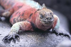 Marine Iguana by DLILLC