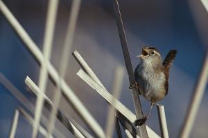 Marsh Wren Singing by DLILLC