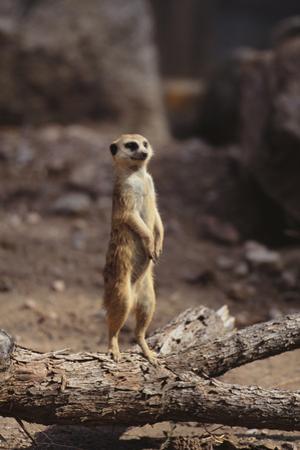 Meerkat Standing Up