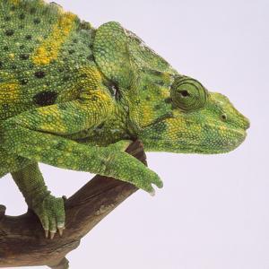 Meller's Chameleon by DLILLC