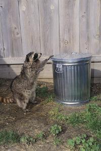 Mischievous Raccoon by DLILLC