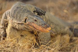 Monitor Lizard by DLILLC