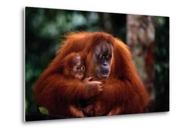 Mother Holding Baby Orangutan