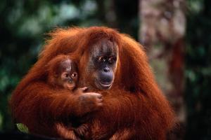 Mother Holding Baby Orangutan by DLILLC