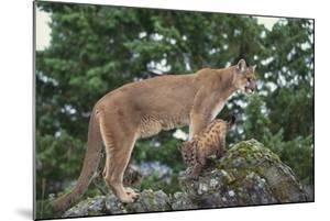 Mountain Lion and Cub by DLILLC