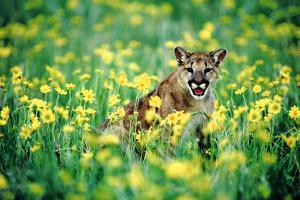 Mountain Lion in Field of Flowers by DLILLC