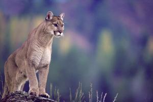 Mountain Lion by DLILLC