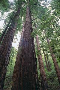 Old Growth Redwood Trees by DLILLC