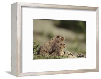 Olympic Marmots
