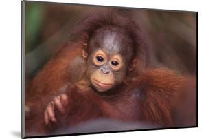 Orangutan Baby on Parent's Back by DLILLC