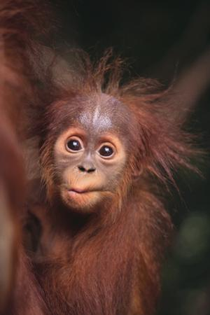 Orangutan Baby by DLILLC