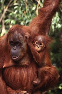 Orangutan Mother and Child by DLILLC