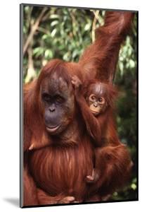 Orangutan Mother and Child by DLILLC