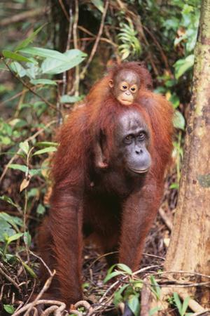 Orangutan with Her Baby by DLILLC