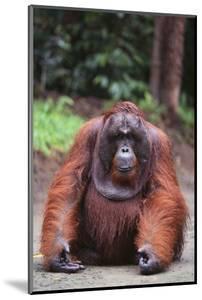Orangutan by DLILLC
