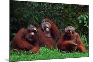 Orangutans Laughing by DLILLC