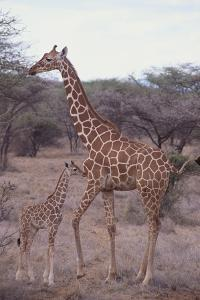 Parent and Young Giraffe by DLILLC