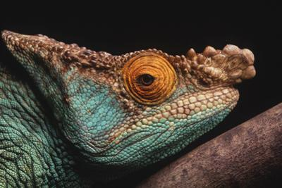 Parson's Chameleon on Branch by DLILLC