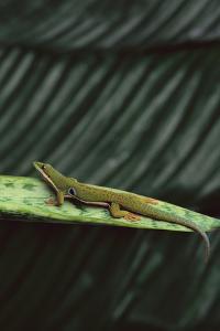 Peacock Day Gecko by DLILLC