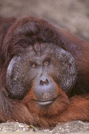 Pensive Orangutan by DLILLC