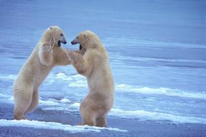 Polar Bears Fighting by DLILLC