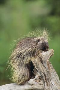 Porcupine by DLILLC